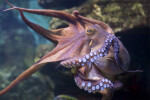 Octopus at Frankfurt Zoo