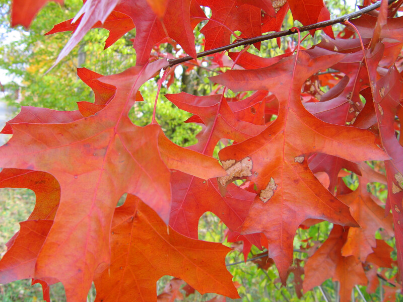 Pin Oak Autumn Leaves