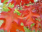 Pin Oak Autumn Leaves