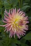 """Odessa"" Dahlia Flower Side-View"