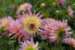 """""""Odessa"""" Dahlia Flowers"""