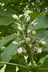 Ohio Buckeye Immature Flowering Stalk