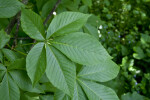 Ohio Buckeye Leaves