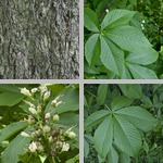 Ohio Buckeye Trees photographs