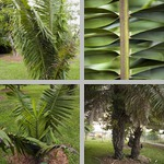 Oil Palms photographs