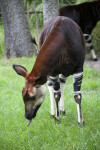 Okapi Bending Down