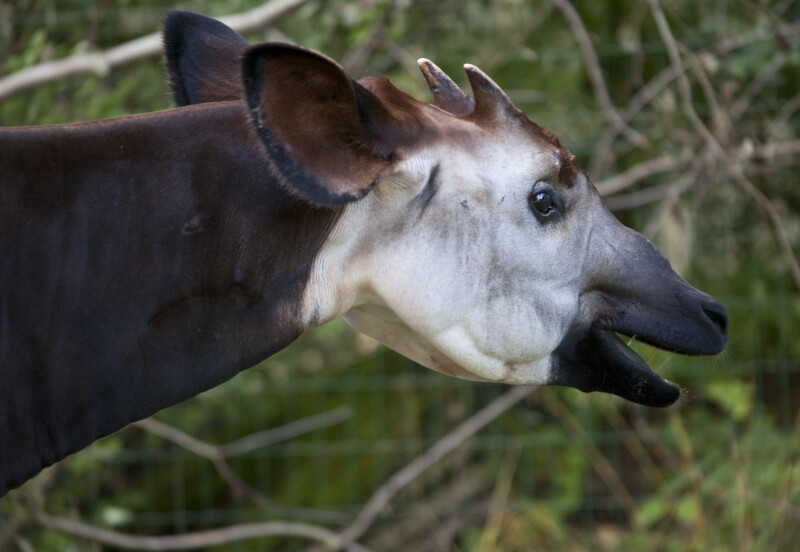 Okapi Detail