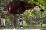Okapi in the Shade