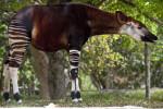 Okapi in the Shade
