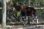 Okapi Side View