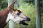 Okapi Side View