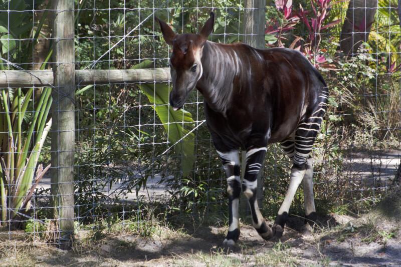 Okapi Standing