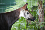 Okapi Tongue