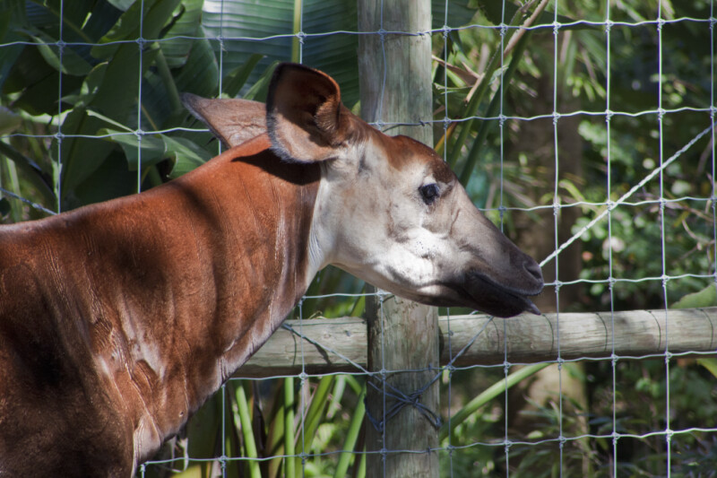 Okapi Upper Torso