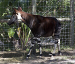 Okapi Walking