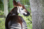 Okapi with Tongue Out