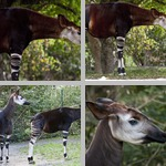 Okapi photographs