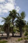Old Man Palms