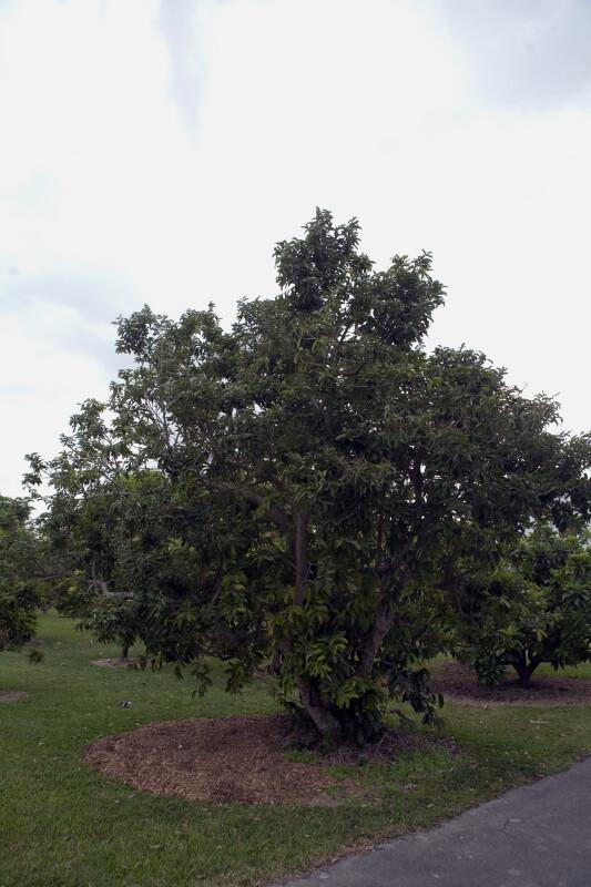 Olosapo Tree