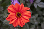 """Olympic Fire"" Hybrid Dahlia Flower"