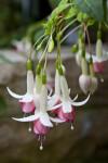 Onagraceae Species