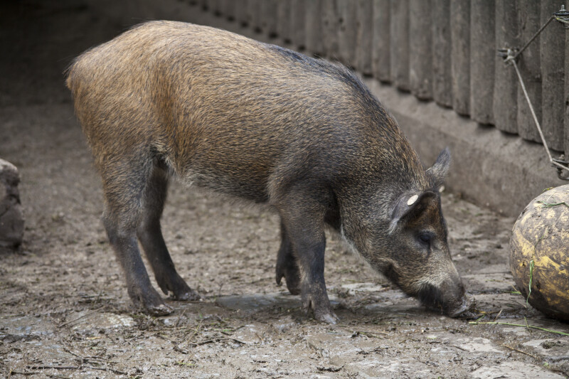 One Bushpig