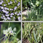 Onions, Garlic, & Related Plants photographs