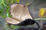Open Black Seed Pod with Numerous Spines