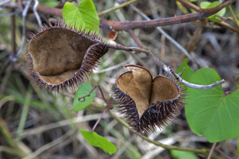 Open Seed Pods with Numerous Spines