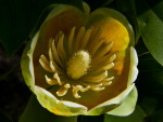 Open Tulip Tree Flower