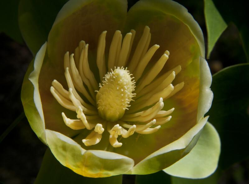 Open Tulip Tree Flower