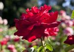 """Opening Night"" Hybrid Tea Rose Flower Close-Up"