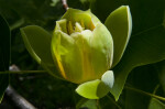 Opening Tulip Tree Flower