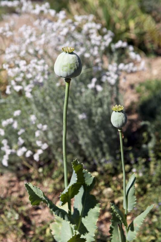 Opium Poppy Buds