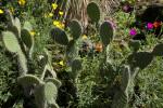 Opuntia leucotricha