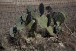 Opuntia , or Paddle Cactus, at the Espada Acequia
