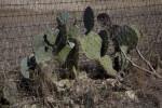 Opuntia , or Paddle Cactus, at the Espada Acequia