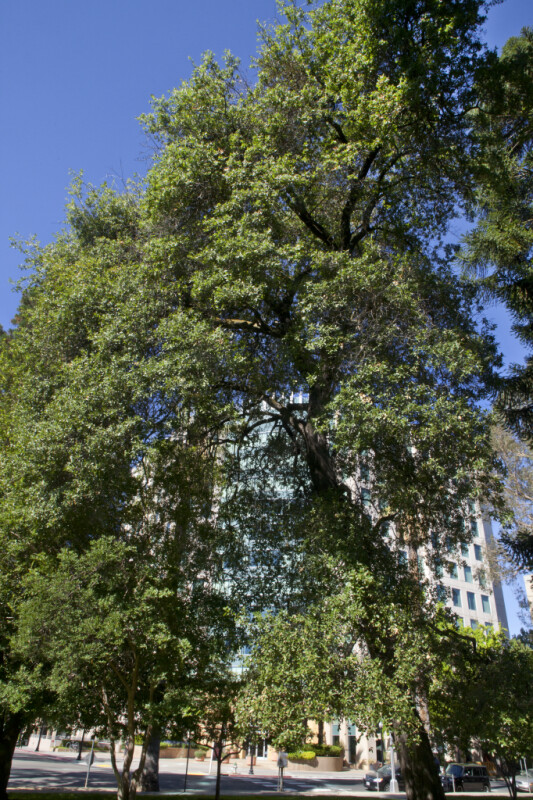 Oracle Oak Tree at Capitol Park in Sacramento