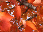 Orange Autumn Leaves