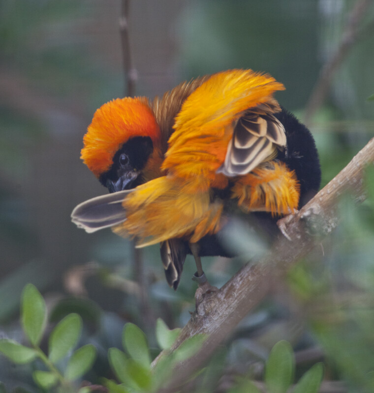 Orange Bishop Preening