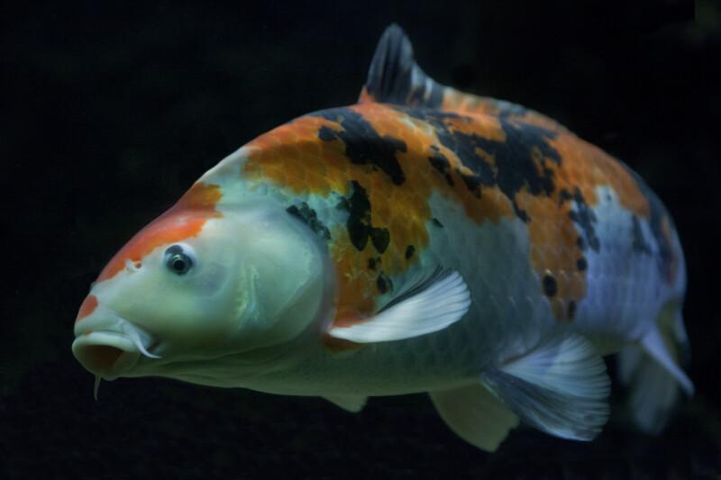 Orange, Black, & White Koi Fish
