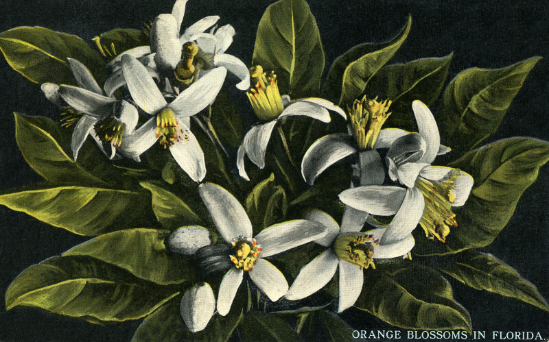 Orange Blossoms in Florida