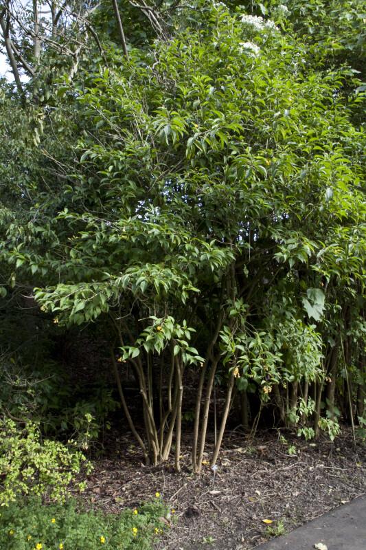 Orange Cestrum Tree
