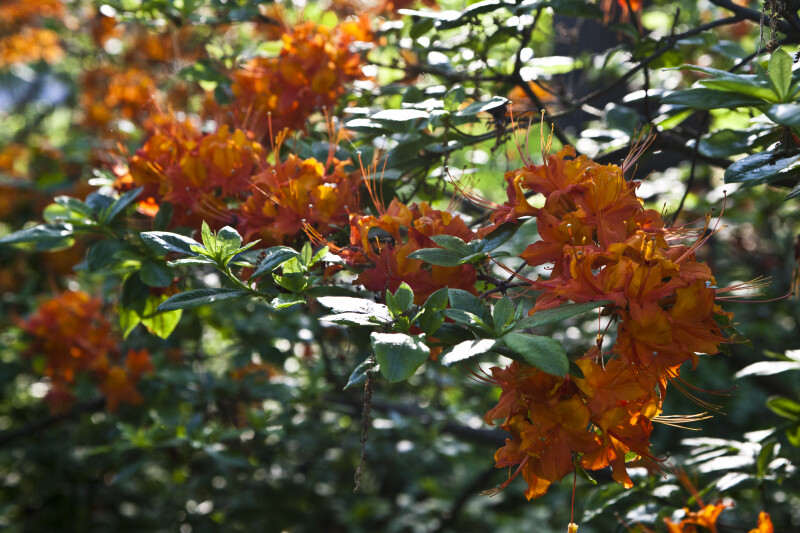 Orange Flowers and Green Leaves of an Azalea