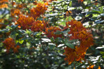 Orange Flowers and Green Leaves of an Azalea