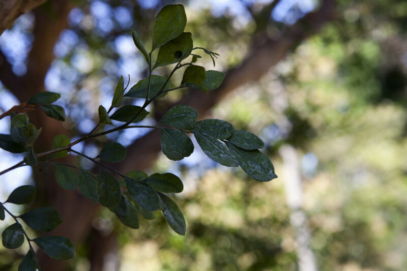 Orange Jasmine Leaves