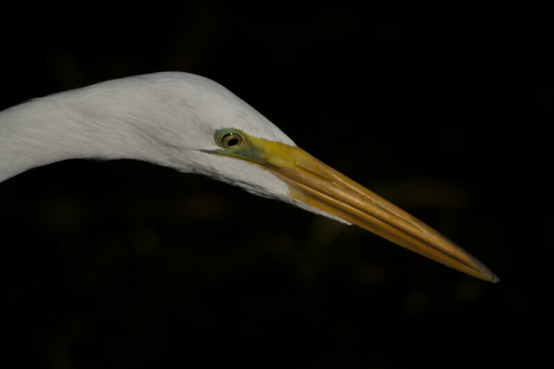 Orange, Narrow Beak of a Great Egret