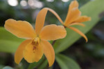 Orange Orchid Flower