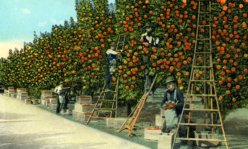 Orange Pickers at Work in a Fine Grove