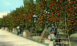 Orange Pickers at Work in a Fine Grove